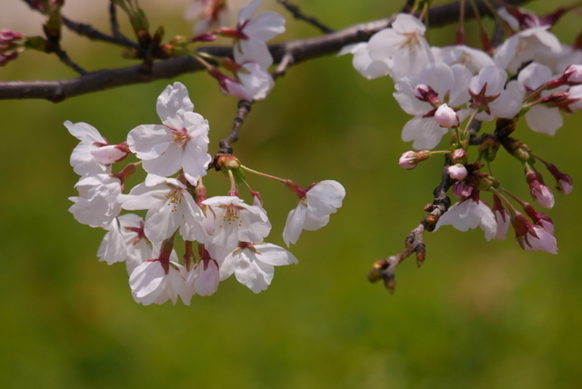 桜さん、こんにちは♪_b0358575_02582007.jpg