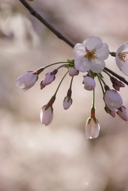 桜さん、こんにちは♪_b0358575_03062159.jpg