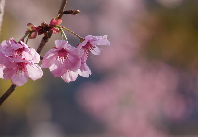 桜さん、こんにちは♪_b0358575_03105255.jpg