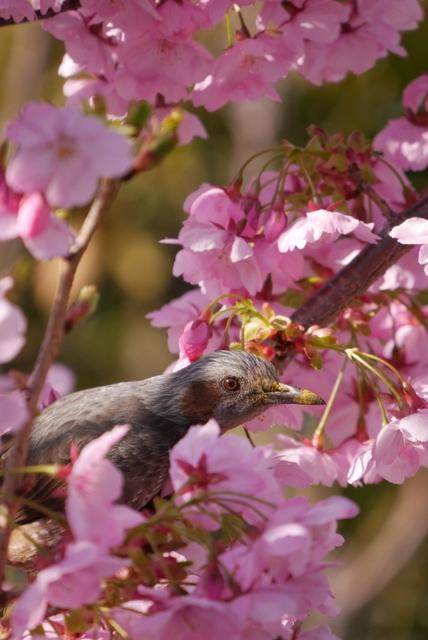 桜さん、こんにちは♪_b0358575_03255879.jpg