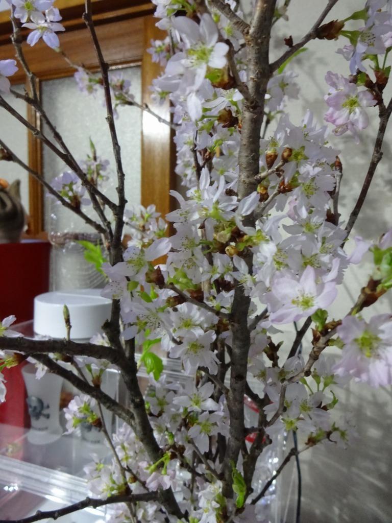 自宅で桜鑑賞、ライトアップも!_d0061678_10480718.jpg