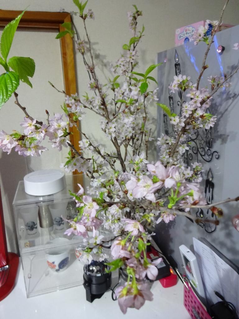 自宅で桜鑑賞、ライトアップも!_d0061678_10480743.jpg