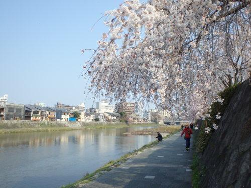 桜の開花情報ライド_a0345079_17025050.jpg