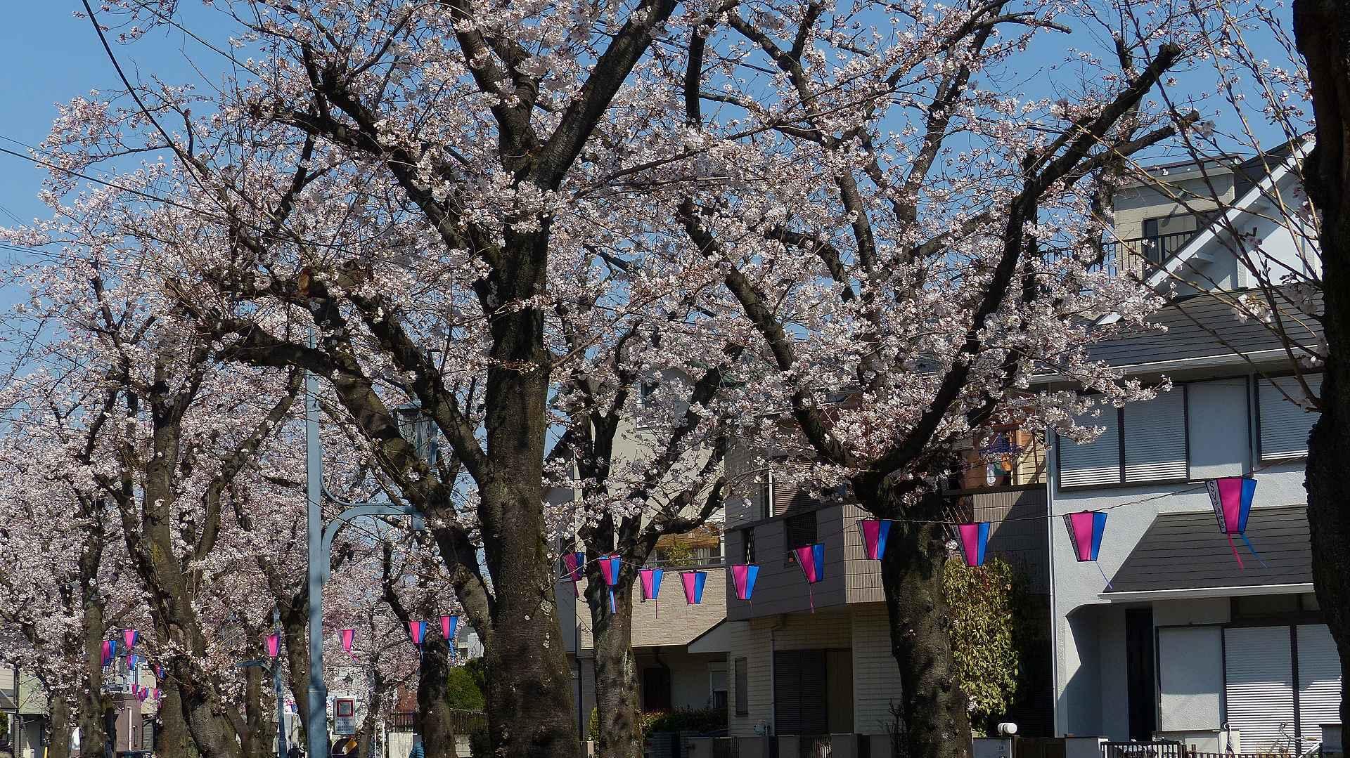 桜の便りに誘われて 【 2018 3/25(日) 】_a0185081_15135440.jpg