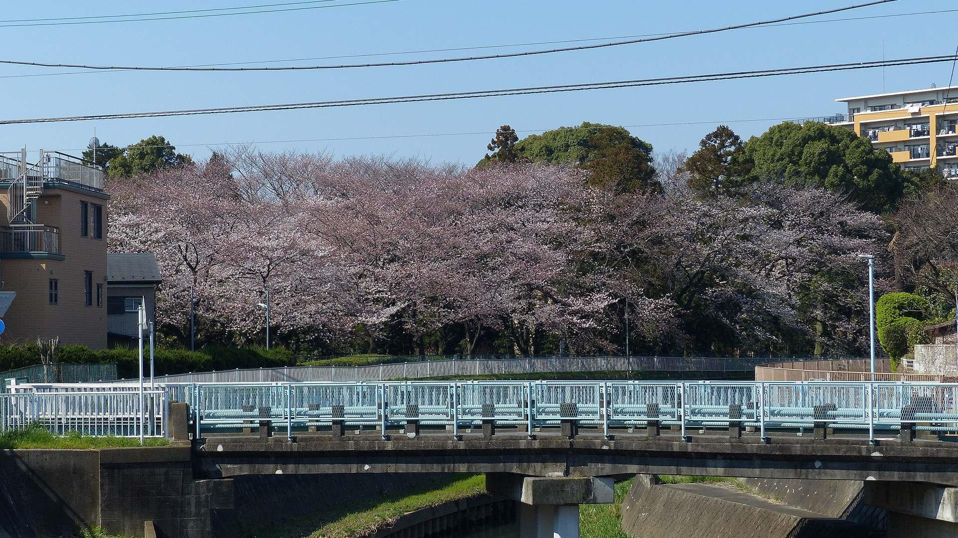 桜の便りに誘われて 【 2018 3/25(日) 】_a0185081_15295395.jpg