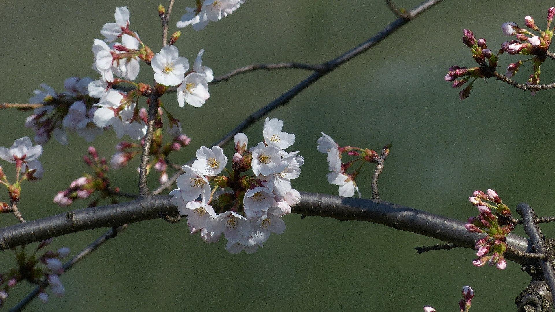 桜の便りに誘われて 【 2018 3/25(日) 】_a0185081_15310324.jpg