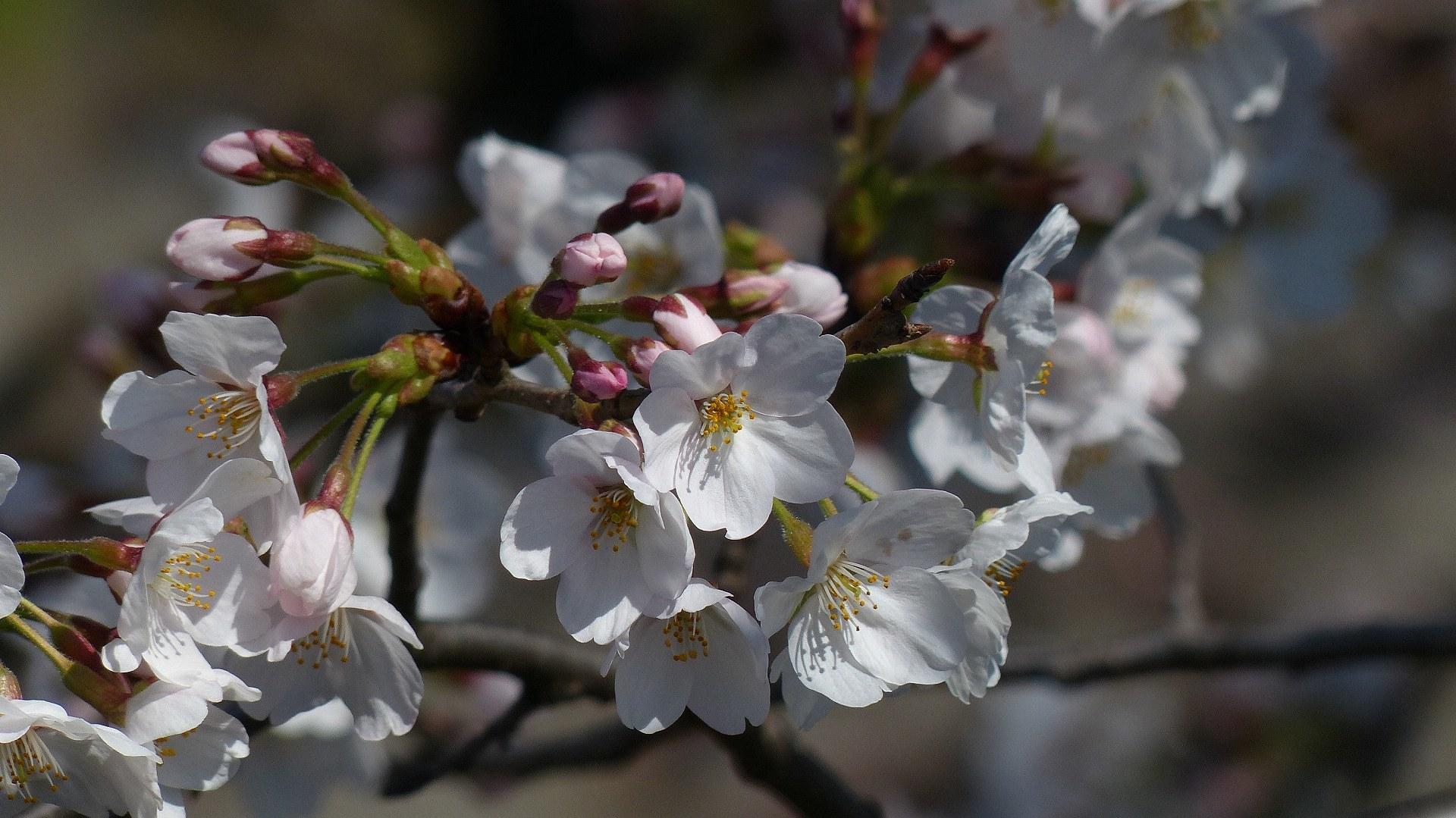 桜の便りに誘われて 【 2018 3/25(日) 】_a0185081_15312113.jpg