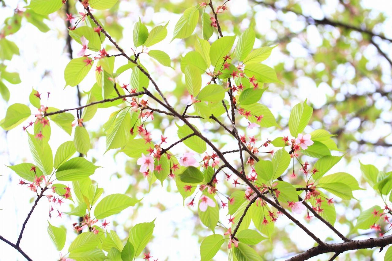 緑ある桜色_b0177584_12303629.jpg