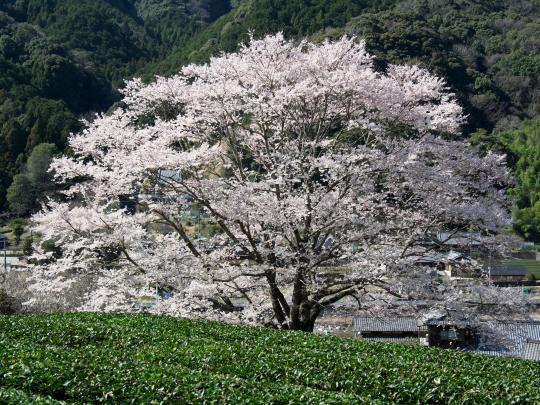 桜を求めて名松線_f0266284_19551128.jpg