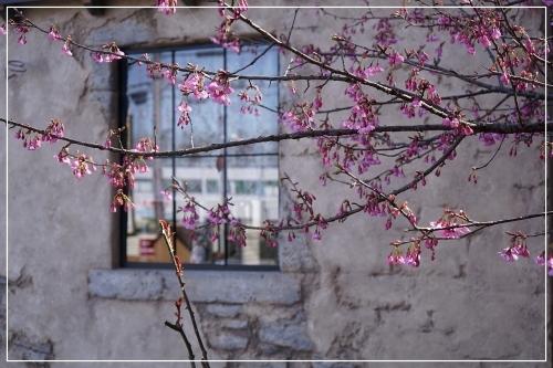 ** 桜 さくら サクラ **_c0207890_12560858.jpg
