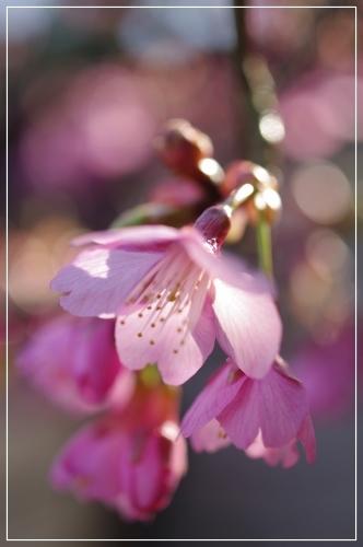 ** 桜 さくら サクラ **_c0207890_12561914.jpg