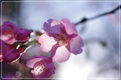 ** 桜 さくら サクラ **_c0207890_12562273.jpg