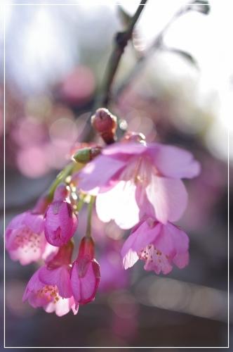 ** 桜 さくら サクラ **_c0207890_12562534.jpg