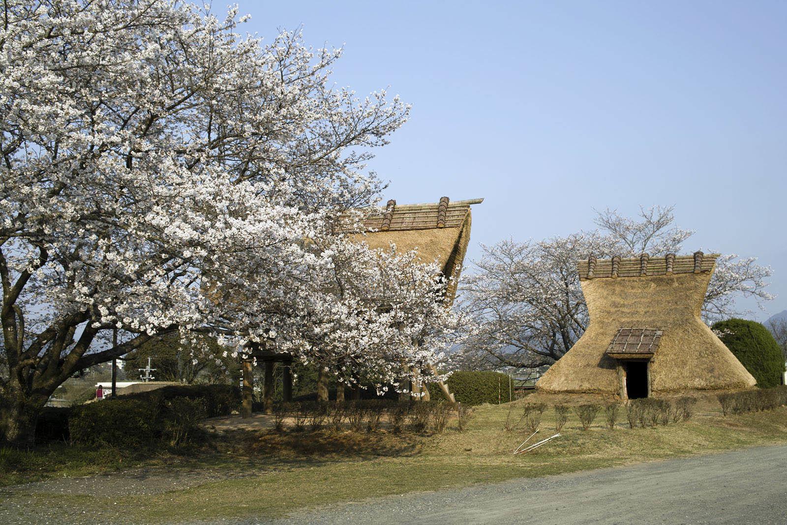3月24日 満開近くの桜と星空 古墳公園の桜_e0174091_11025889.jpg