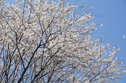次々咲き出す榊原のサクラ_b0145296_20134670.jpg