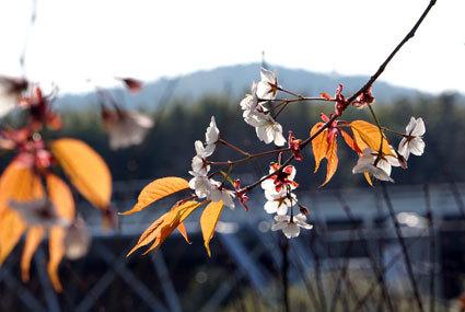 次々咲き出す榊原のサクラ_b0145296_20135123.jpg