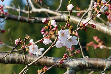 次々咲き出す榊原のサクラ_b0145296_20135591.jpg