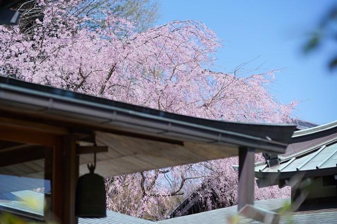 今日も鎌倉桜めぐりに行ってきました。_b0145398_22460030.jpg