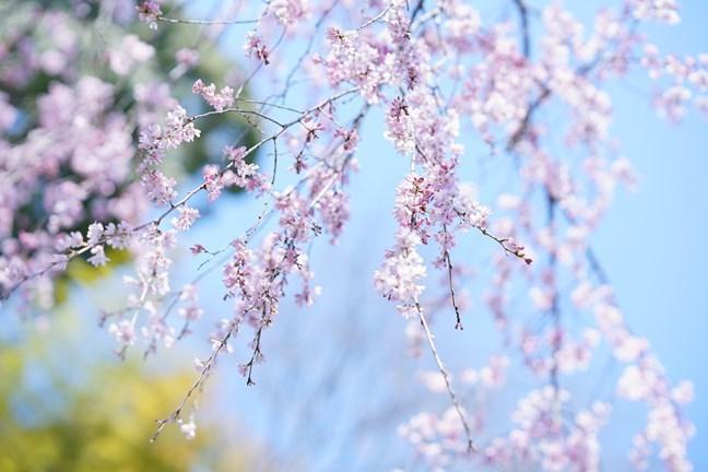 今日も鎌倉桜めぐりに行ってきました。_b0145398_22460742.jpg
