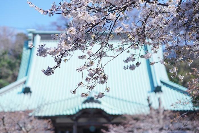 今日も鎌倉桜めぐりに行ってきました。_b0145398_22491522.jpg