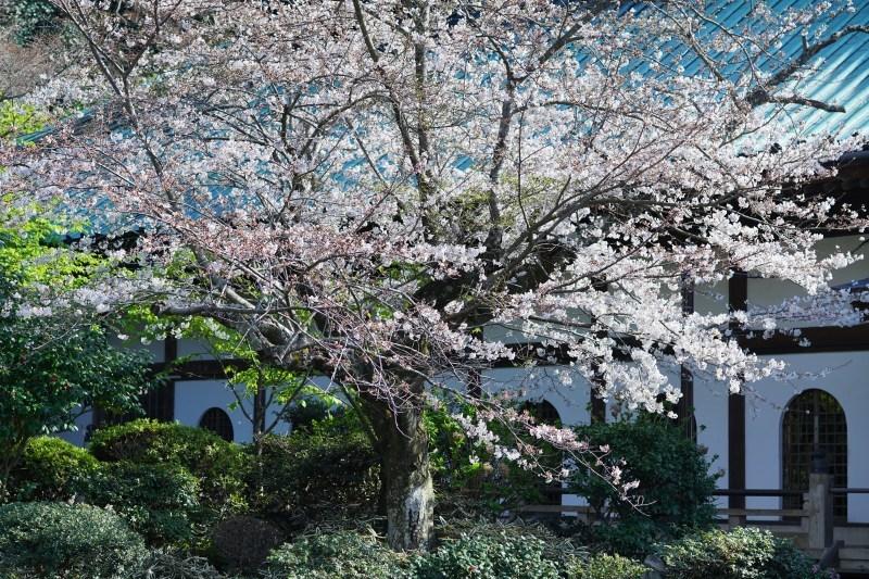 今日も鎌倉桜めぐりに行ってきました。_b0145398_22492439.jpg