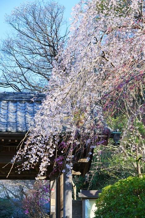 今日も鎌倉桜めぐりに行ってきました。_b0145398_22510479.jpg