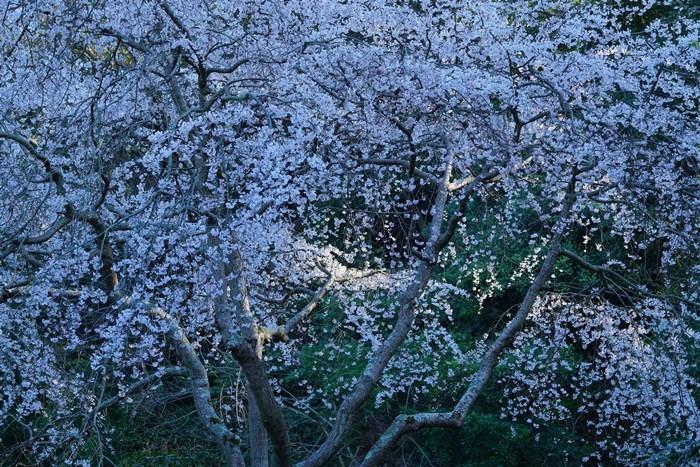 今日も鎌倉桜めぐりに行ってきました。_b0145398_22511702.jpg