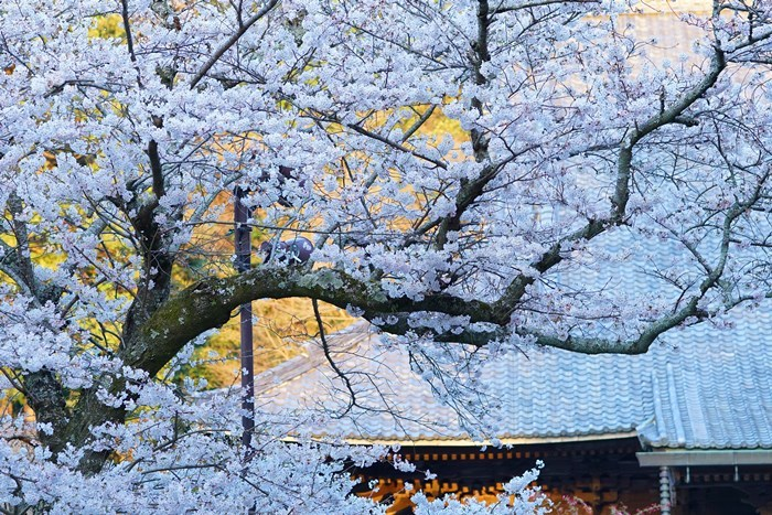 今日も鎌倉桜めぐりに行ってきました。_b0145398_22513376.jpg