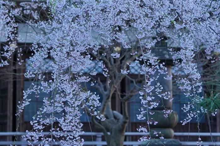 今日も鎌倉桜めぐりに行ってきました。_b0145398_22575525.jpg