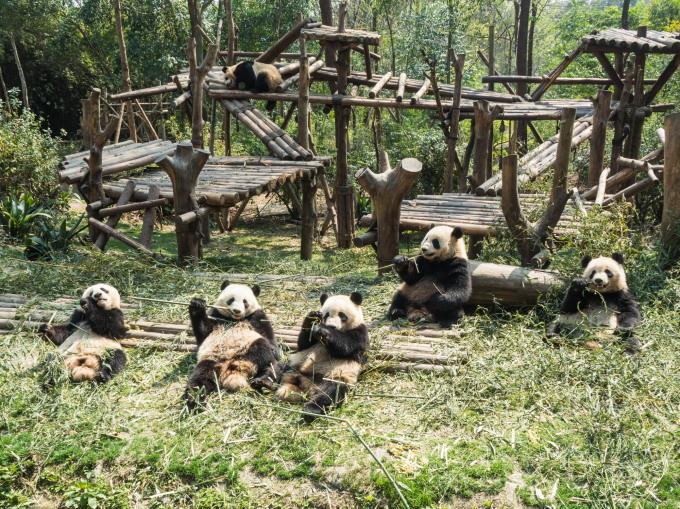 2018重慶・成都・パンダvol.4~成都大熊猫繁育研究基地へ直行~_f0276498_21452464.jpg