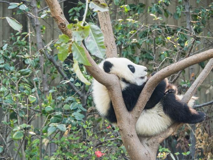 2018重慶・成都・パンダvol.4~成都大熊猫繁育研究基地へ直行~_f0276498_21464431.jpg