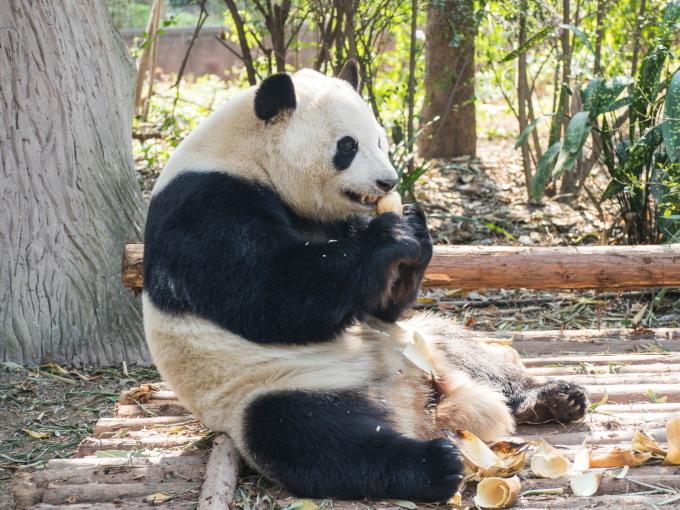 2018重慶・成都・パンダvol.4~成都大熊猫繁育研究基地へ直行~_f0276498_22104282.jpg