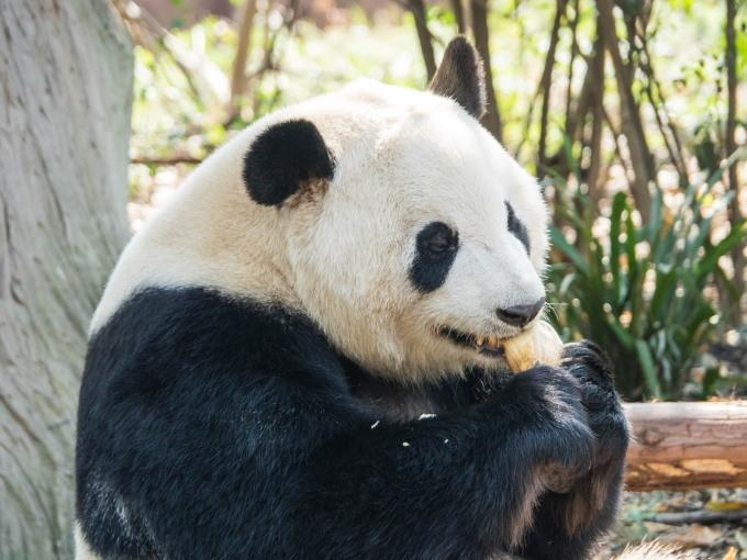 2018重慶・成都・パンダvol.4~成都大熊猫繁育研究基地へ直行~_f0276498_22115389.jpg