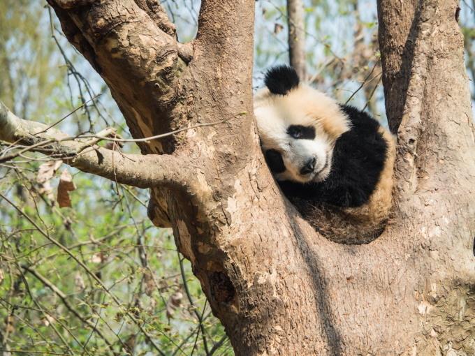 2018重慶・成都・パンダvol.4~成都大熊猫繁育研究基地へ直行~_f0276498_22151441.jpg