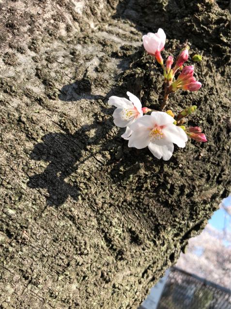 草加の桜花見_f0144003_11253214.jpg