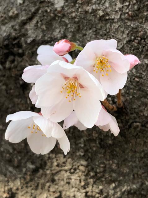 草加の桜花見_f0144003_11254368.jpg