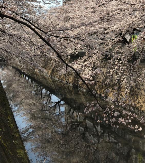 草加の桜花見_f0144003_11371795.jpg