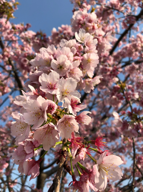 草加の桜花見_f0144003_11375339.jpg