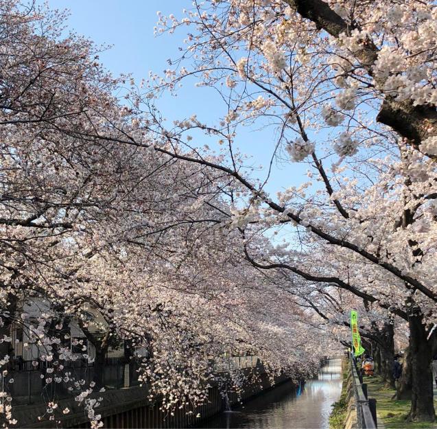 草加の桜花見_f0144003_11485067.jpg