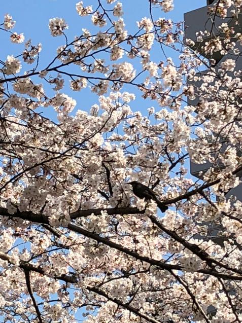 草加の桜花見_f0144003_11485307.jpg