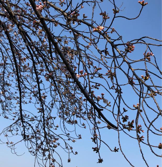草加の桜花見_f0144003_11485996.jpg