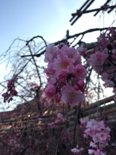\'18 桜。_d0168411_17091177.jpg