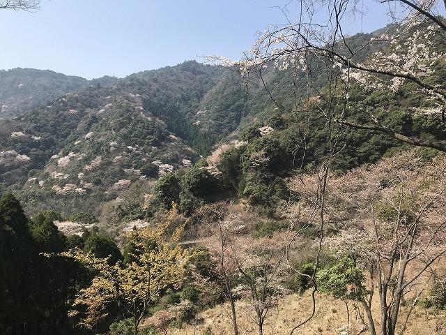 彦岳の桜_d0177220_11263400.jpg