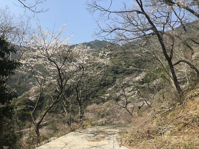 彦岳の桜_d0177220_12000856.jpg