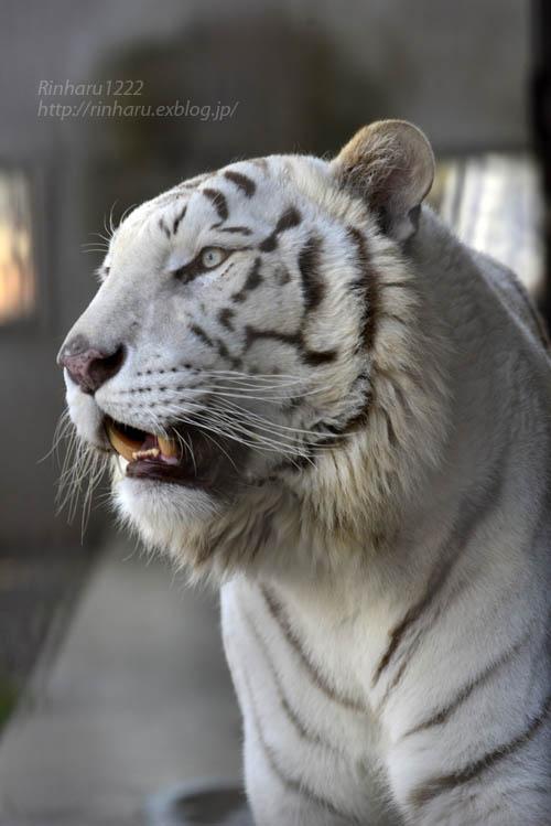 2018.3.25 宇都宮動物園☆ホワイトタイガーのアース王子【White tiger】_f0250322_2295486.jpg