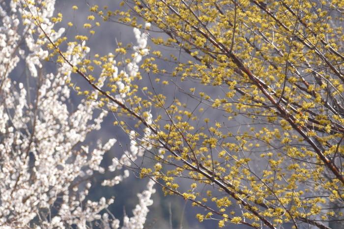 福島市渡利 「花見山の花」 ③_d0106628_10342407.jpg