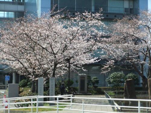 桜~桜...満開寸前..._b0137932_14443326.jpg