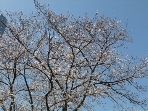 桜~桜...満開寸前..._b0137932_14452432.jpg