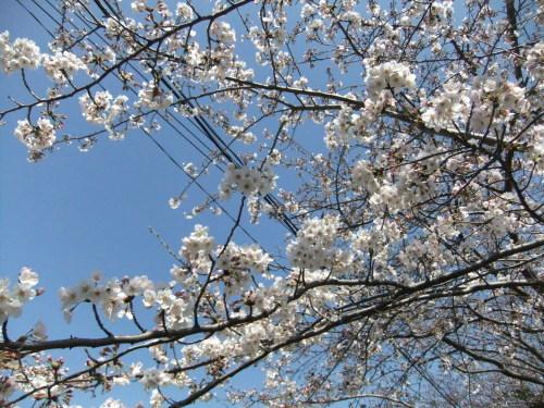 桜~桜...満開寸前..._b0137932_14474321.jpg