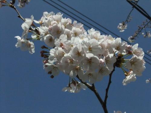 桜~桜...満開寸前..._b0137932_14481450.jpg